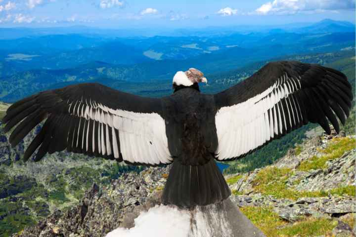 Medicijnwiel – Oosten – Condor
