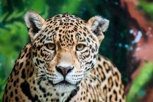 Medicijnwiel – Westen – Jaguar
